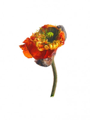Papaver, June Poppy