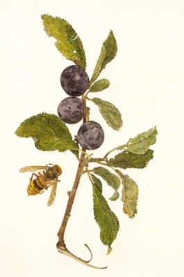Sloe and Wasp