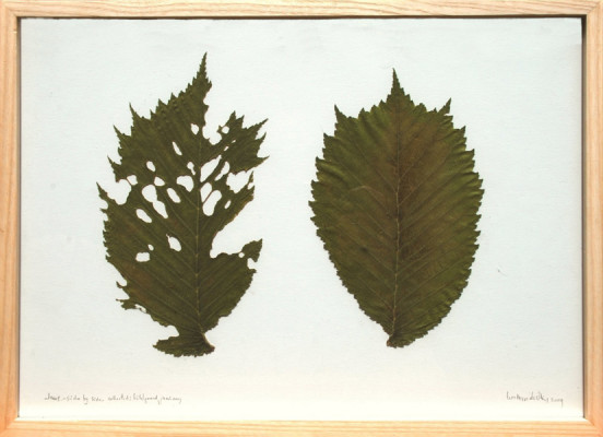 ulmus side by side, collected bohlgrund